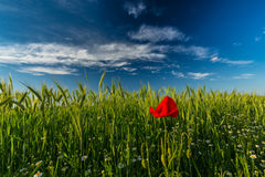 Wild red lonely poppy flower in field of barley in summer Stock Photo