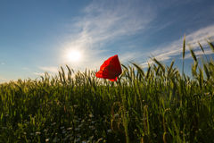 Wild red lonely poppy flower in field of barley in summer Stock Photography