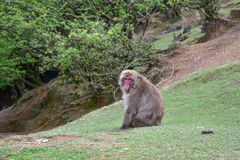 Wild red macaca fuscata resting Royalty Free Stock Photography