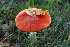Wild red mushroom Stock Photo
