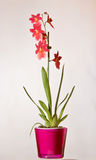Wild red Orchid Royalty Free Stock Image