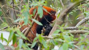 Wild Red Panda on Tree. Close Up Shot Of A Himalayan Red Panda Sitting On A Tree And Cleaning Himself. India stock video footage