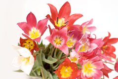 Wild red, pink and yellow tulips. Bunch of wild tulips isolated on white background royalty free stock photography