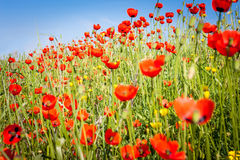 Free Wild Red Poppies Stock Photo - 71329400