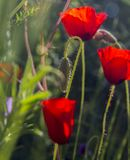 Wild Red Poppies in the blooming Field.Spring in Nature Concept. Wild Red Poppies in the blooming Field.Backlit,Spring in Nature Concept.Natural Background Stock Photo