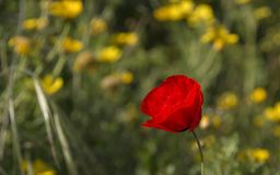 Wild Red Poppies in the blooming Field.Spring in Nature Concept. Natural Background Royalty Free Stock Photos