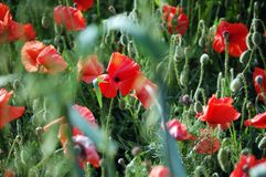 Wild red poppies on bright sunny day Stock Photos