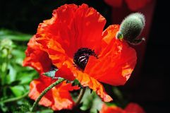 Wild red poppies on bright sunny day Stock Images