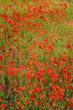 Wild Red Poppies Stock Photography