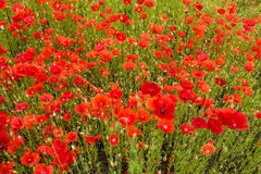 Wild Red Poppies Royalty Free Stock Photography