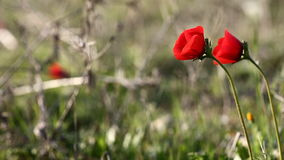 Wild red poppies stock video footage