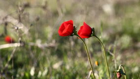 Wild red poppies stock footage