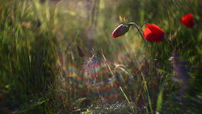 Wild red poppies stock video