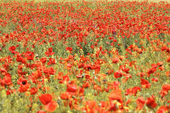 Wild red poppies field stock photography