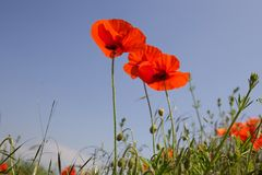 Wild red poppies in a field with a blue sky royalty free stock photo