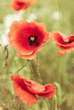 Wild red poppies flowers on green meadow Royalty Free Stock Photo