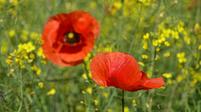 Wild Red Poppies Royalty Free Stock Images