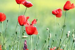 Wild red poppies on meadow Stock Photo