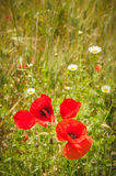Wild red poppies in the middle of green fields. Stock Image
