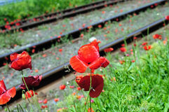 Wild red poppies near railway Stock Images
