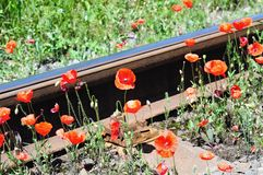 Wild red poppies near railway Royalty Free Stock Photography