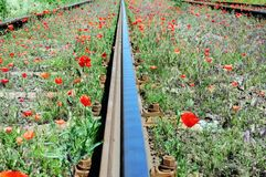 Wild red poppies near railway Stock Photo