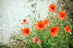 Wild red poppy Royalty Free Stock Photos