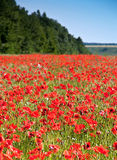 Wild red poppy Royalty Free Stock Image