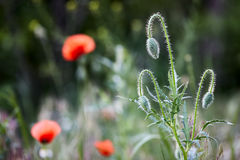 Wild red poppy buds Royalty Free Stock Photography