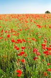 Wild Red Poppy Field with Distant Tree in Summer Stock Photos