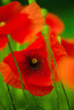 Wild Red Poppy Flower Stock Photos