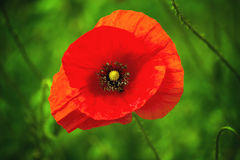 Wild Red Poppy Flower Stock Image