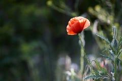 Wild red poppy flower Stock Image