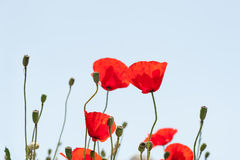 Free Wild Red Poppy Flowers At Morning Sunlight. Royalty Free Stock Photo - 67508205