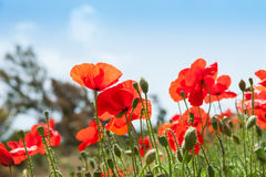 Wild red poppy flowers in a field. Royalty Free Stock Photos