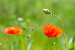 Wild Red Poppy Flowers Royalty Free Stock Images