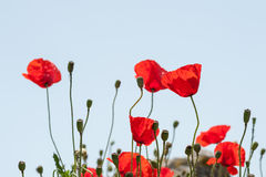Wild red poppy flowers Stock Photography