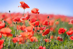 Wild red poppy flowers. In meadow royalty free stock images