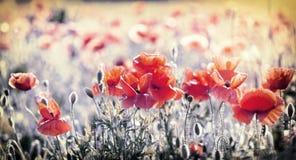 Wild red poppy flowers in meadow Stock Image