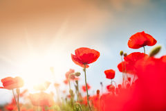 Wild red poppy flowers at morning sunlight. Stock Photo