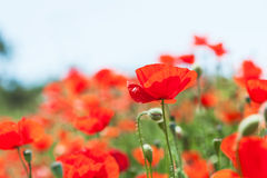 Wild red poppy flowers at morning sunlight. Royalty Free Stock Photography