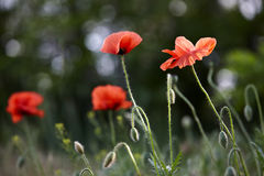 Wild red poppy flowers Royalty Free Stock Image