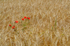Wild red poppy flowers in a wheat field. Stock Photos