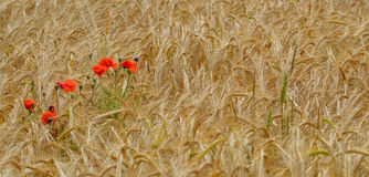 Wild red poppy flowers in a wheat field. Royalty Free Stock Photography