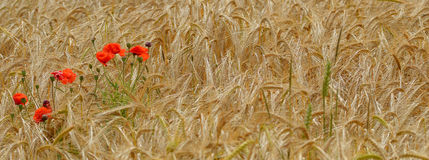 Wild red poppy flowers in a wheat field. Royalty Free Stock Photos