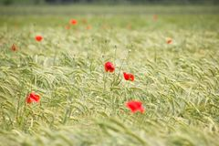 Wheal field with red poppies Royalty Free Stock Image