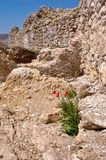 Wild red poppy near old stone wall. In Balaclava, Crimea, Ukraine Stock Photo
