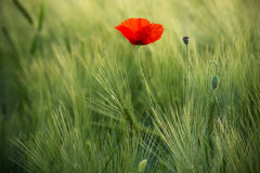 Wild Red Poppy, Shot With A Shallow Depth Of Focus, On A Green Wheat Field In The Sun. Lonely Red Poppy Close-Up Among Wheat. Pict. Uresque Single Wild Poppy On royalty free stock image