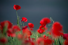Wild Red Poppy, Shot With A Shallow Depth Of Focus, On Wheat Fie royalty free stock images