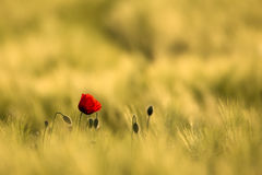 Wild Red Poppy, Shot With A Shallow Depth Of Focus, On A Yellow Wheat Field stock photography